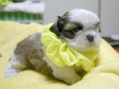 シーズーの子犬(ID:1255511388)の2枚目の写真/更新日:2018-04-18