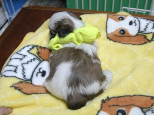 シーズーの子犬(ID:1255511388)の3枚目の写真/更新日:2018-04-18
