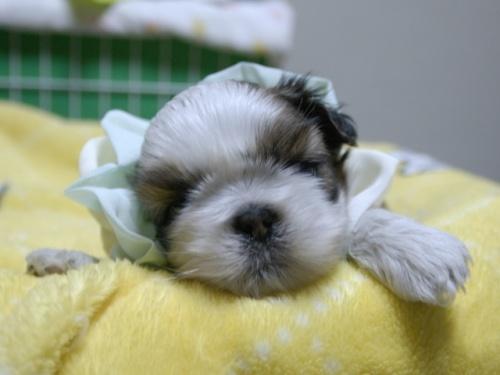 シーズーの子犬(ID:1255511389)の1枚目の写真/更新日:2018-04-18