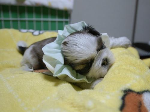 シーズーの子犬(ID:1255511389)の2枚目の写真/更新日:2018-04-18