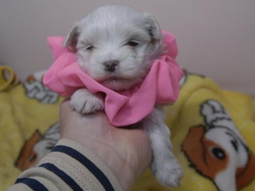 マルチーズの子犬(ID:1255511390)の1枚目の写真/更新日:2018-04-18
