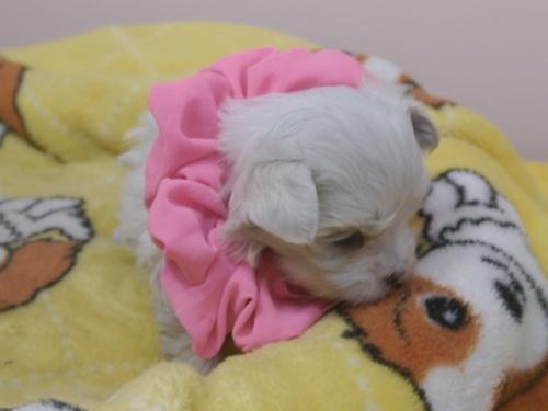 マルチーズの子犬(ID:1255511390)の2枚目の写真/更新日:2018-04-18
