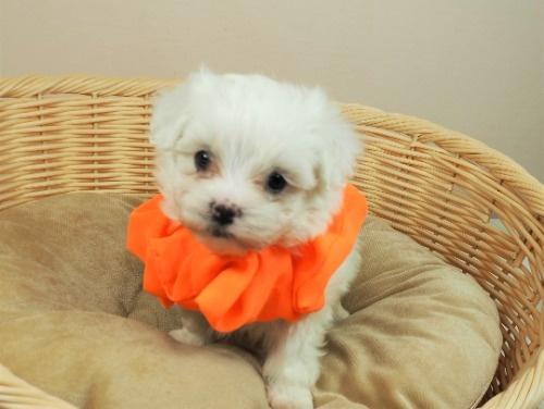マルチーズの子犬(ID:1255511391)の1枚目の写真/更新日:2021-09-23