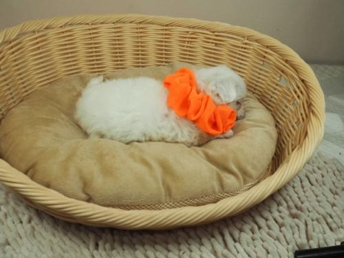 マルチーズの子犬(ID:1255511391)の2枚目の写真/更新日:2021-09-18