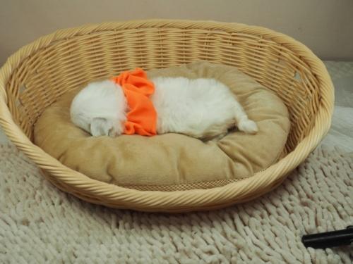 マルチーズの子犬(ID:1255511391)の3枚目の写真/更新日:2021-09-18
