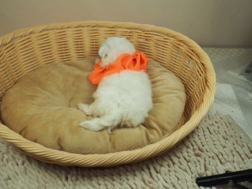 マルチーズの子犬(ID:1255511391)の4枚目の写真/更新日:2021-09-18