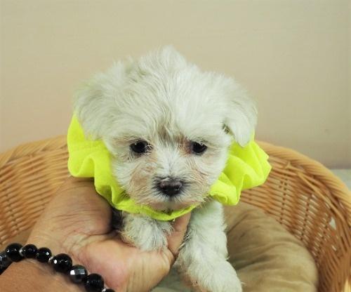 マルチーズの子犬(ID:1255511392)の1枚目の写真/更新日:2018-04-27