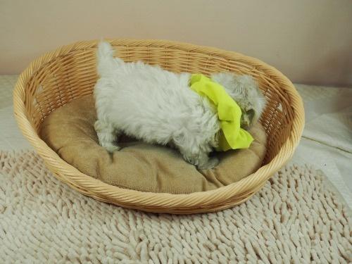マルチーズの子犬(ID:1255511392)の2枚目の写真/更新日:2018-04-27