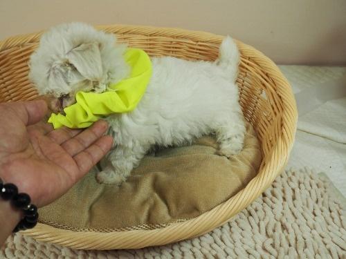 マルチーズの子犬(ID:1255511392)の3枚目の写真/更新日:2018-04-27