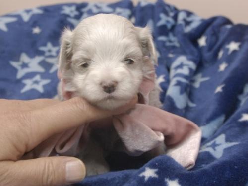 マルチーズの子犬(ID:1255511393)の1枚目の写真/更新日:2018-04-27