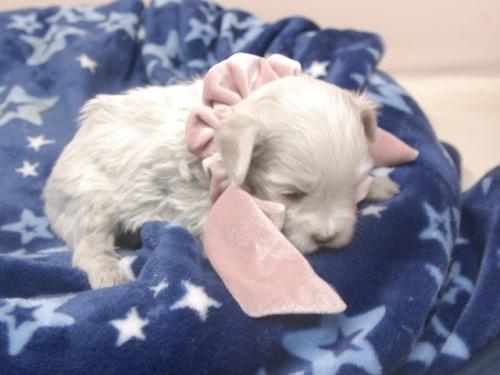 マルチーズの子犬(ID:1255511393)の2枚目の写真/更新日:2018-04-27