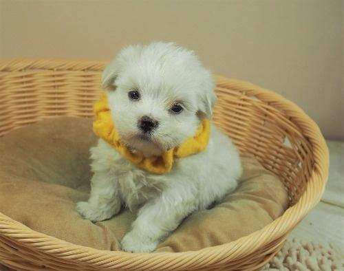 マルチーズの子犬(ID:1255511394)の1枚目の写真/更新日:2021-07-29