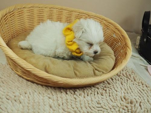 マルチーズの子犬(ID:1255511394)の2枚目の写真/更新日:2018-04-27
