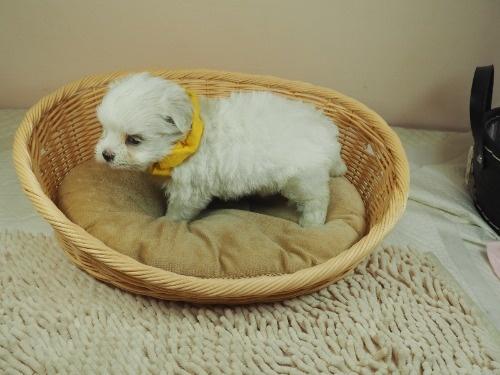 マルチーズの子犬(ID:1255511394)の3枚目の写真/更新日:2018-04-27