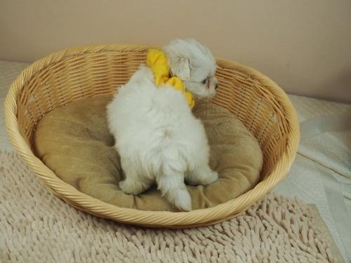 マルチーズの子犬(ID:1255511394)の4枚目の写真/更新日:2021-07-29