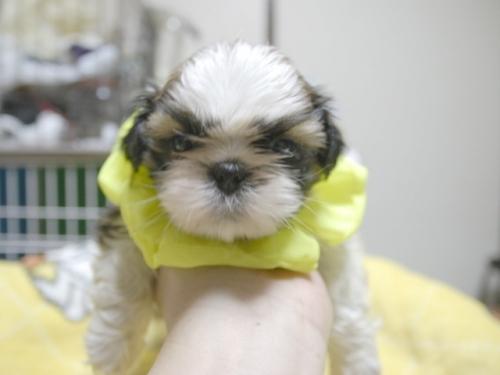 シーズーの子犬(ID:1255511395)の1枚目の写真/更新日:2018-05-21