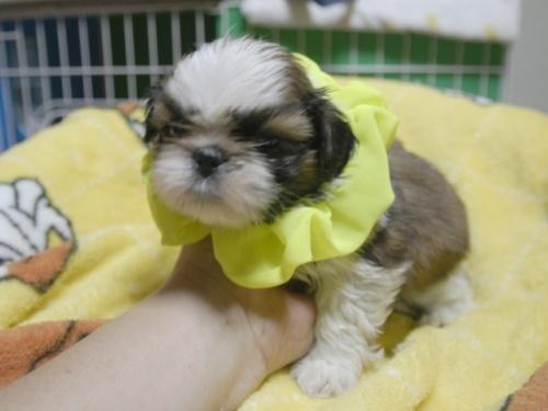 シーズーの子犬(ID:1255511395)の2枚目の写真/更新日:2018-05-21