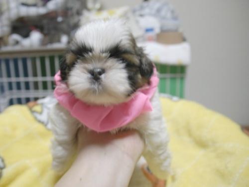 シーズーの子犬(ID:1255511396)の1枚目の写真/更新日:2018-05-21