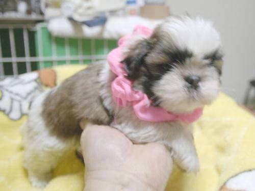 シーズーの子犬(ID:1255511396)の2枚目の写真/更新日:2018-05-21