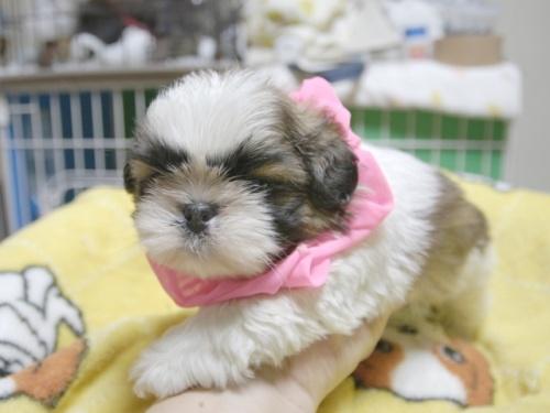 シーズーの子犬(ID:1255511396)の3枚目の写真/更新日:2018-05-21