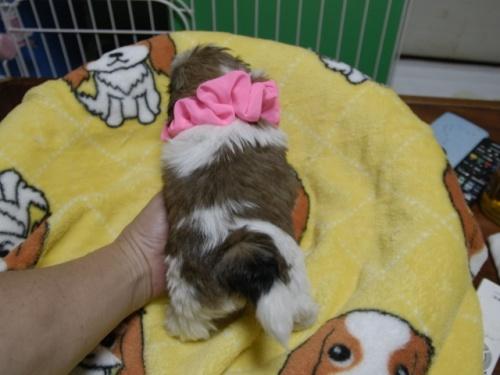 シーズーの子犬(ID:1255511396)の4枚目の写真/更新日:2018-05-21