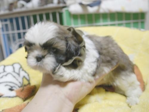 シーズーの子犬(ID:1255511397)の3枚目の写真/更新日:2018-05-21