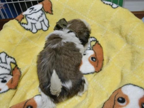 シーズーの子犬(ID:1255511397)の4枚目の写真/更新日:2018-05-21