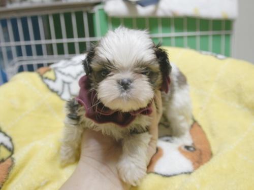 シーズーの子犬(ID:1255511398)の1枚目の写真/更新日:2018-05-21