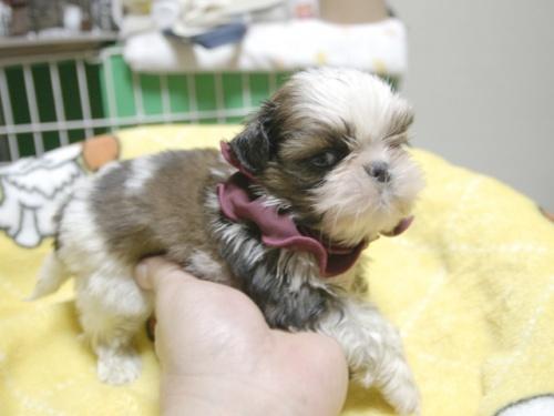 シーズーの子犬(ID:1255511398)の2枚目の写真/更新日:2018-05-21