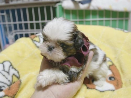 シーズーの子犬(ID:1255511398)の3枚目の写真/更新日:2018-05-21