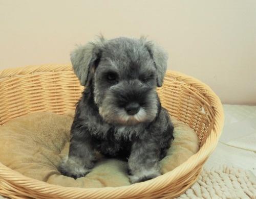 ミニチュアシュナウザーの子犬(ID:1255511399)の1枚目の写真/更新日:2018-05-21