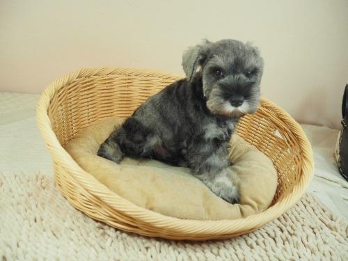 ミニチュアシュナウザーの子犬(ID:1255511399)の2枚目の写真/更新日:2018-05-21