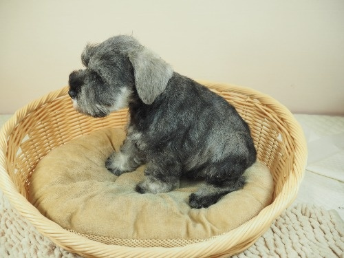 ミニチュアシュナウザーの子犬(ID:1255511399)の3枚目の写真/更新日:2018-05-21