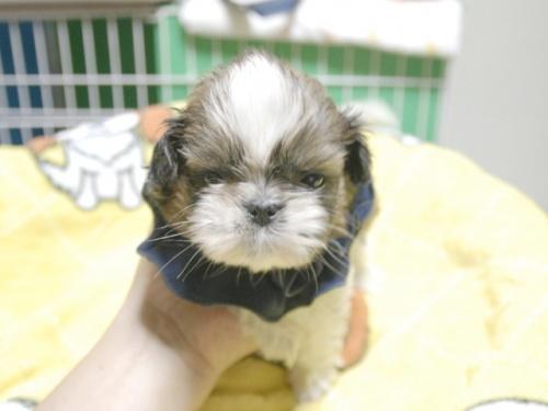 シーズーの子犬(ID:1255511400)の1枚目の写真/更新日:2018-05-21