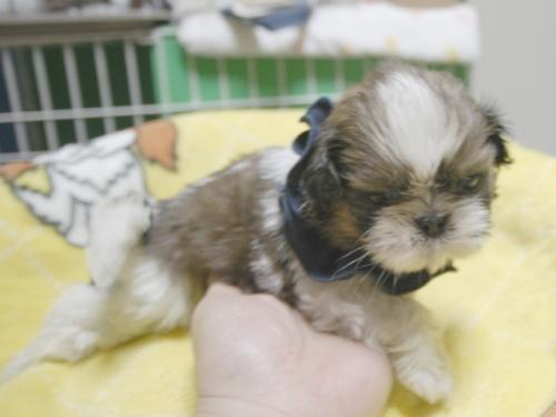 シーズーの子犬(ID:1255511400)の2枚目の写真/更新日:2018-05-21