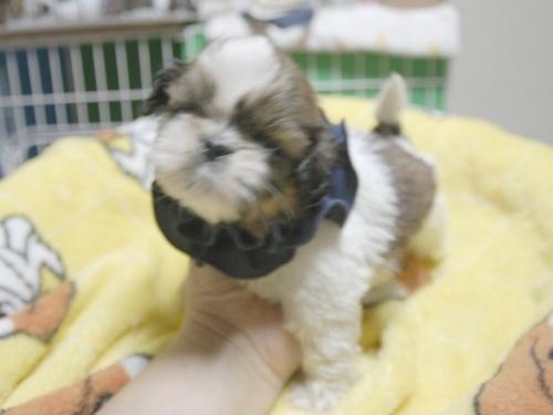 シーズーの子犬(ID:1255511400)の3枚目の写真/更新日:2018-05-21