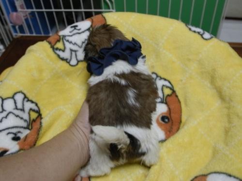 シーズーの子犬(ID:1255511400)の4枚目の写真/更新日:2018-05-21