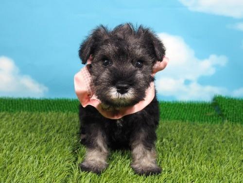 ミニチュアシュナウザーの子犬(ID:1255511401)の1枚目の写真/更新日:2019-08-15