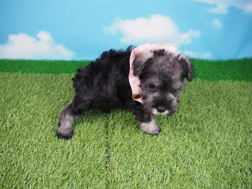 ミニチュアシュナウザーの子犬(ID:1255511401)の2枚目の写真/更新日:2018-05-21