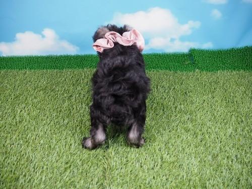ミニチュアシュナウザーの子犬(ID:1255511401)の4枚目の写真/更新日:2018-05-21