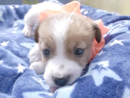 ジャックラッセルテリアの子犬(ID:1255511402)の1枚目の写真/更新日:2018-05-28