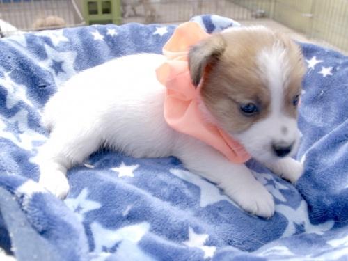 ジャックラッセルテリアの子犬(ID:1255511402)の2枚目の写真/更新日:2018-05-28
