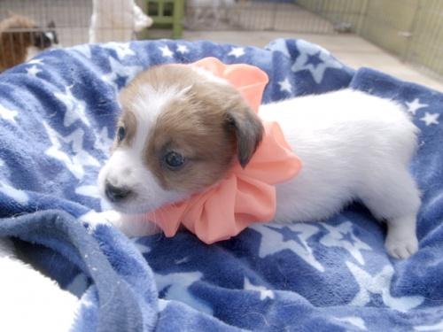 ジャックラッセルテリアの子犬(ID:1255511402)の3枚目の写真/更新日:2018-05-28