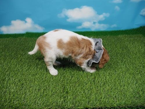 キャバリアの子犬(ID:1255511403)の2枚目の写真/更新日:2019-12-09