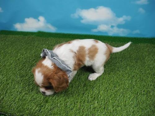 キャバリアの子犬(ID:1255511403)の3枚目の写真/更新日:2019-12-09