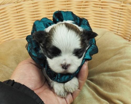 ミックスの子犬(ID:1255511404)の1枚目の写真/更新日:2021-03-18