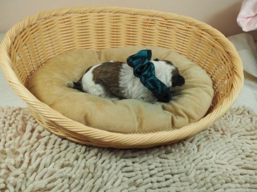 ミックスの子犬(ID:1255511404)の2枚目の写真/更新日:2021-03-18