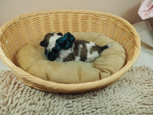 ミックスの子犬(ID:1255511404)の3枚目の写真/更新日:2021-03-18