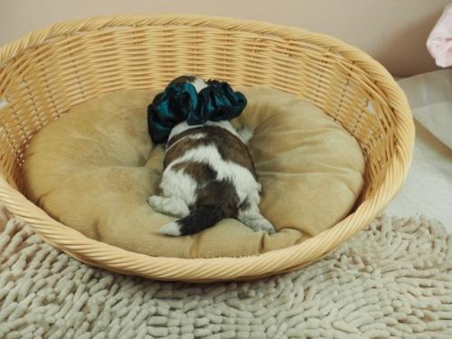 ミックスの子犬(ID:1255511404)の4枚目の写真/更新日:2021-03-18