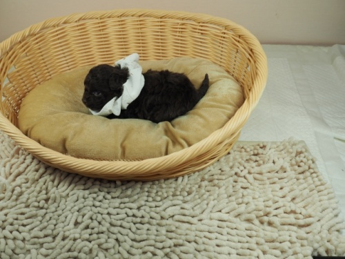 ミックスの子犬(ID:1255511405)の3枚目の写真/更新日:2021-02-25